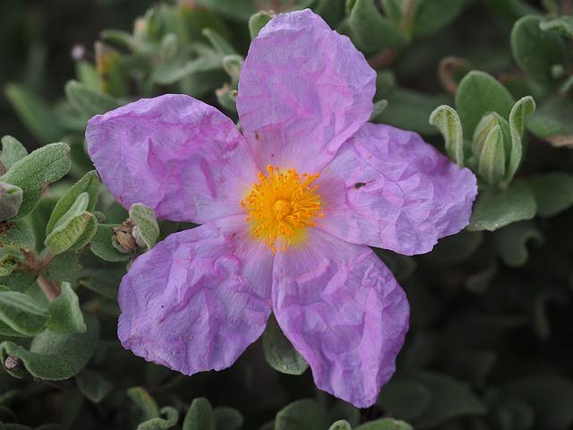 zmačkaný květ